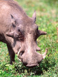 Common Warthog, Tanzania Photographic Print by David Northcott