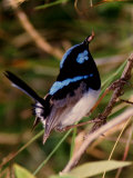 Charles Sleicher - Superb Fairy-Wren or Blue Wren., Australia Fotografická reprodukce