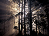 Sun Rays Through Trees, Olympic National Forest, Washington, USA Photographic Print by Art Wolfe