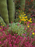 Landscape of Saguaro National Monument, Arizona, USA Lámina fotográfica por Art Wolfe