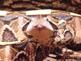 West African Gaboon Viper, Africa Photographic Print by David Northcott