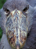 Shoebill, East Africa Photographic Print by Art Wolfe