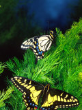 Anise Swallowtail Butterfly, California, USA Photographic Print by David Northcott