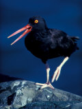 American Black Oystercatcher, Alaska, USA Photographic Print by Art Wolfe