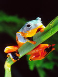 Blue Webbed Gliding Frog, Native to New Guinea Photographic Print by David Northcott