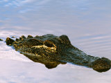 Alligator Lying in Wait for Prey, Ding Darling NWR, Sanibel Island, Florida, USA Photographic Print by Charles Sleicher