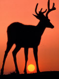 Blacktail or Mule Deer Silhouetted at Sunset, Olympic National Park, Washington, USA Photographic Print by Art Wolfe