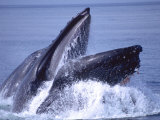Humpback Whale Lunge Feeding Close-up, Frederick Sound, Alaska, USA Photographic Print by David Northcott
