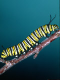 Monarch Butterfly Caterpillar, California, USA Photographic Print by David Northcott