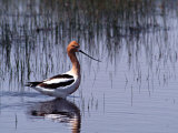 American Avocet Wading Photographie par Charles Sleicher