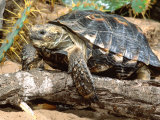 Berlandier's Tortoise, South Texas, USA Photographic Print by David Northcott