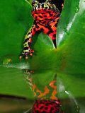 Fire Belly Toad, Native to Northeast China Photographic Print by David Northcott