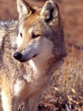 Mexican Wolf, Native to Mexico Photographic Print by David Northcott