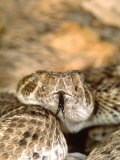Western Diamondback Rattlesnake Photographic Print by David Northcott