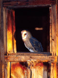 Barn Owl, Native to Southern USA Photographic Print by David Northcott