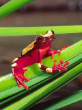 Clown Tree Frog, Native to Surinam, South America Photographic Print by David Northcott