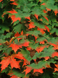 Sugar maple leaves in fall, Vermont, USA Photographic Print by Charles Sleicher
