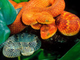 African Bush Viper Trio Photographic Print by David Northcott
