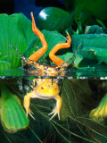 Albino Bull Frog Diving Photographic Print by David Northcott
