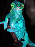 Nosy Be Blue Phase Panther Chameleon, Native to Madagascar Photographic Print by David Northcott