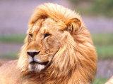 Male African Lion, Panthera Leo, Tanzania Africa Lámina fotográfica por David Northcott