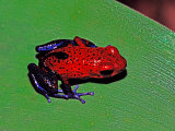 Strawberry Poison Dart Frog in a Rainforest, Costa Rica Photographic Print by Charles Sleicher