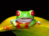 Red Eye Tree Frog, Native to Central America Photographic Print by David Northcott