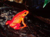 Golden Mantella, Native to Madagascar Photographic Print by David Northcott