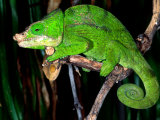 Globifer Chameleon, Native to Madagascar Photographic Print by David Northcott