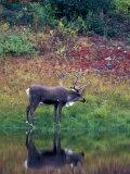 Caribou in Denali National Park, Alaska Range, Alaska, USA Reprodukcja zdjęcia autor Art Wolfe