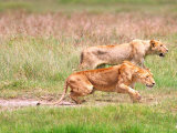 Female African Lions Stalking Prey, Tanzania Photographic Print by David Northcott