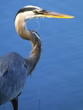 Doomed Great Blue Heron, Venice, Florida, USA Photographic Print by Charles Sleicher