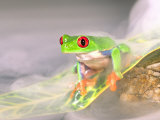 Red Eye Tree Frog in the Mist, Native to Central America Lámina fotográfica por David Northcott