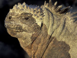 Marine Iguana, Galapagos Islands, Ecuador Photographic Print by Art Wolfe