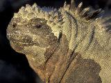 Marine Iguana, Galapagos Islands, Ecuador Photographic Print by Art Wolfe