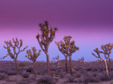 Joshua Trees at Sunrise, Mojave Desert, Joshua Tree National Monument, California, USA Photographic Print by Art Wolfe