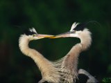 Great Blue Heron Pair, Venice, Florida, USA Photographic Print by Charles Sleicher
