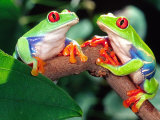 Red Eye Tree Frog Pair, Native to Central America Photographic Print by David Northcott