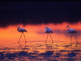 Greater Flamingo, Tanzania Photographic Print by David Northcott