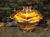 Dwarf Burrowing Bullfrog, Native to Tanzania Photographic Print by David Northcott