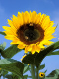 Sunflower with Bees, Santa Barbara, California, USA Photographic Print by Savanah Stewart