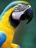 Blue and Yellow Macaw, Iguacu National Park, Brazil Photographic Print by Art Wolfe