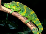 Meller's Chameleon, Native to Tanzania Photographic Print by David Northcott