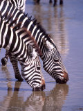 Zebras at the Water Hole, Tanzania Photographic Print by David Northcott