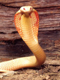 Albino Monocled Cobra, Native to SE Asia Photographic Print by David Northcott