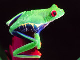 Red Eye Tree Frog on a Bromeliad, Native to Central America Photographic Print by David Northcott