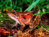 Red-legged Frog, Rana Aurora, Native to Pacific Coast, USA Photographic Print by David Northcott
