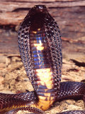 Black Pakistan Cobra, Native to Pakistan Photographic Print by David Northcott