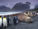 Elephant Seal and King Penguins, South Georgia Island, Antarctica Photographic Print by Art Wolfe