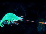 Three-horned Chameleon Capturing a Cricket, Native to Camerouns Photographic Print by David Northcott